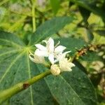 Coffea arabica Flower