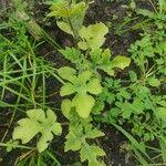 Citrullus lanatus Leaf
