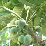 Ficus callosa