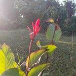 Canna indica Kvet
