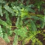 Prosopis juliflora Hoja