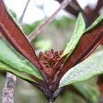 Myrtopsis corymbosa