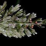 Hymenophyllum humboldtianum