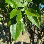 Citrus sinensis Liść