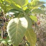 Brugmansia suaveolens Leaf