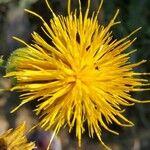 Centaurea behen