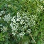 Chaerophyllum aromaticum