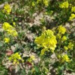 Sinapis arvensis Kvet