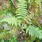 Thelypteris poiteana