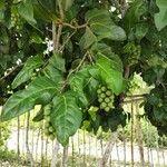 Coccoloba diversifolia