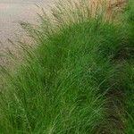 Eragrostis plana
