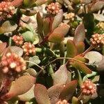 Crassula pubescens