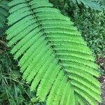 Delonix regia Leaf