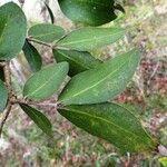 Cynometra ramiflora