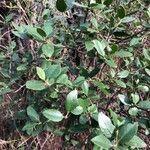 Rhamnus alaternus Leht