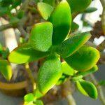 Crassula ovata Leaf