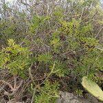 Rhamnus crenulatus