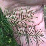 Ipomoea quamoclit Leaf