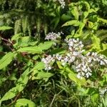 Persicaria campanulata