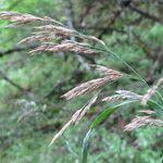 Calamagrostis purpurea