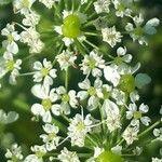 Chaerophyllum aureum