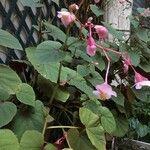 Begonia hirtella