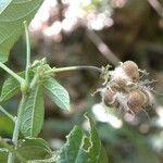 Dalechampia cissifolia