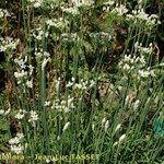 Allium saxatile