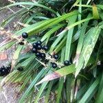 Liriope muscari Fruit
