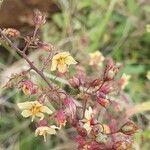 Hermannia exappendiculata