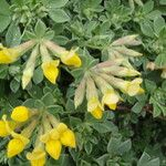 Lotus drepanocarpus