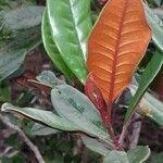 Myrtopsis macrocarpa