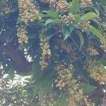 Mangifera indica Fruto