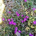 Spergula purpurea