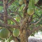 Crescentia cujete Frukt
