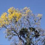 Handroanthus serratifolius