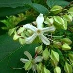 Clerodendron trichotomum