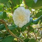 Camellia japonica 花