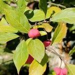 Euonymus europaeus Leaf