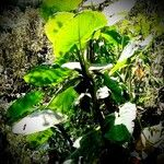 Colocasia gigantea