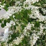 Ligustrum sinense Flor