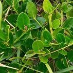 Carissa macrocarpa Leaf