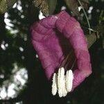 Merinthopodium neuranthum