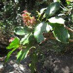 Archidendropsis glandulosa