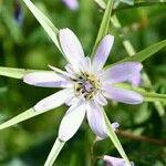 Geropogon hybridus