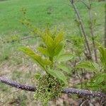 Sambucus nigra List