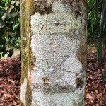 Intsia palembanica