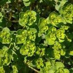 Euphorbia helioscopia Flower