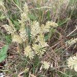 Koeleria macrantha