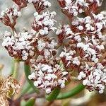 Dicheranthus plocamoides